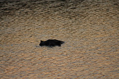 Hippo at Sunset (Rckr88) Tags: krugernationalpark southafrica kruger national park south africa hippo sunset hippoatsunset sun sunlight sunsets hippos hippopotamus water river rivers lake lakes dam dams sabie sabieriver nature outdoors wildlife