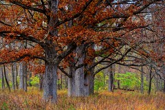 If trees could talk. (ttounces) Tags: ttounces images ~jan~ ready fall leaves sturdy trees talk