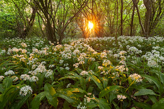 Wild garlic at sunset (Giordano Bertocchi - www.giordanobertocchi.it) Tags: nature natural landscqape lanscapes oglioriver fiumeoglio aglioselvatico wildgarlic allium april backlighting backlit beech carpet evening flower flowering flowers garlic late leaf leaves lodge oak park path pem rays spring springtime stackpole sun sundown sunset sunstar time tree trees white wild wildflowers wood woodland woods ita