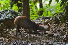 suriname south america (piccvjiw13) Tags: nature natuur wildlife fauna mammal agouti rainforest tropischregenwoud regenwoud horizontaal