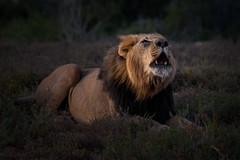 A Kings Roar (Coisroux) Tags: d850 nikond850 safari lion roar vocalisation kwandwe southafricanwildlife big5 lowlight grassland fields bushveld