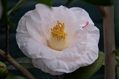 Caged Camellia (Anne Marie Clarke) Tags: camelliajaponica sweetiepie hidden safe flower camellia bloom greenhouse newyorkbotanicalgarden white fujixt3