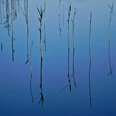 Reeds (Stefano Rugolo) Tags: stefanorugolo pentax k5 pentaxk5 smcpentaxm100mmf28 kmount ricohimaging abstract minimal reeds blue lake water reflection sweden sverige hälsingland