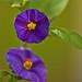 Blue Potato Bush - Solanum