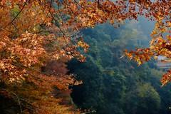 autumn leaves (ababhastopographer) Tags: kyoto takao momiji kaede ray sunlight autumn morning mapletree kiyotakiriver acerpalmatum 京都 高雄 清滝川 紅葉 楓 カエデ 秋 朝