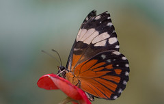Hamadryas amphinome (Torok_Bea) Tags: hamadryasamphinome hamadryas wonderful animals amazing animal lovely lepke beautiful butterfly sigma sigmalens sigma105 nikon nikond7200 natur nature color flower redcracker mariposa