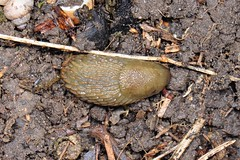 Arion flagellus (lloyd177) Tags: arion flagellus slug wiltshire