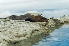 Tranquility (Hanna Tor) Tags: nature wildlife animal newzealand hannator travel seal fur marine mammal ocean sea beach shore sky island tranquility sleeping sony tourism