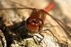 Blutrote Heidelibelle / Ruddy Darter (Sympetrum sanguineum) (uwe125) Tags: portrait sonnenbad heidelibelle blutrote libellen insekten tiere insects macro dragonfly darter ruddy macromarvels