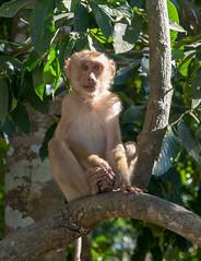 53595-Khao-Yai (xiquinhosilva) Tags: 2017 dongphayayen hintung khaoyai monkey mueangnakhonnayokdistrict nationalpark park thailand unescoworldheritage wildlife tambonmusi changwatnakhonratchasima th