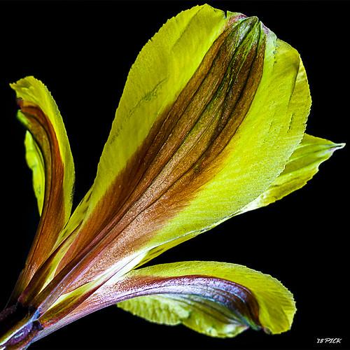 Peruvian Lily VI