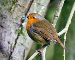 Robin - Taken at Barnwell Country Park, Oundle, Northants. UK. (Ian J Hicks) Tags: