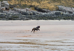 P1022867e1 DF LM (David W Geddes) Tags: dug broon raasay dog beach sand applecross