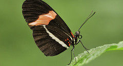 butterfly 13 (norbert.wegner) Tags: