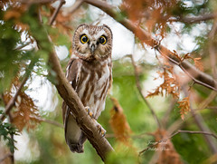 Saw Whet Owl (Jamie Lenh Photography) Tags: nature wildlife birds owls northernsawwhetowl ontario canada jamielenh
