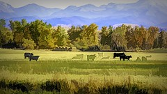 Disappearing Cattle (Eclectic Jack) Tags: eastern oregon trip october 2018 rural agriculture farm farming autumn fall mountains process processing post manipulated art artistic creative different unusual