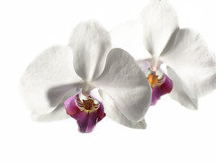 Orchid (szymek126) Tags: orchid flower olympus zuiko manuallens manualfocus zuiko50mm dreamstime gettyimages getty istock microstock photo sale salephoto imageforsale image