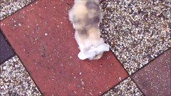 Noa in motion (eveliensbunnypics) Tags: bunny rabbit lop lopeared noa lionhead outdoor outside backyard patio playing running binky binkies binkying baby video