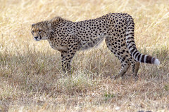 Big Cats on the Mara (johnrobjones) Tags: beyond animal animals cnp cnpsafaris kenya kichwatemba mara masai masaimara safari africa mammals nature wildlife cheetah male