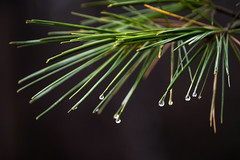 White Pine (cowgirljo78) Tags: pine needle needles branches branch wet drip drop dripping winter fall autumn late cold mist rain nikon d3200