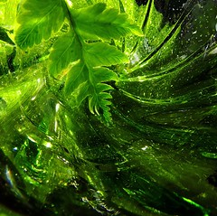 Macro Mondays: Green (Hayseed52) Tags: macro green macromondays glass sparkly fern