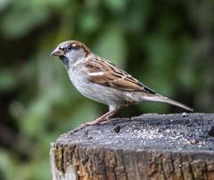 Sparrow (2) (Mal.Durbin Photography) Tags: wildlifephotography maldurbin naturephotography wildbirds forestfarm nature naturereserve