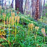 Running-pine thumbnail