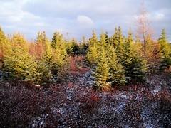 Dusting of snow (Orion 2) Tags: blacksprucetrees muskeg boglaurel tamaracks newfoundlandandlabrador canada rediscover this day forest