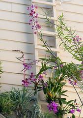 Epidendrum schweinfurthianum species orchid 10-18 (nolehace) Tags: fall nolehace sanfranciso fz1000 1018 flower bloom plant epidendrum schweinfurthianum species orchid