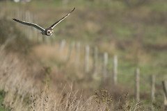 Hunting the fence line (Ade Ludlam) Tags: short eared owl raptor bird prey november somerset nature wildlife nikon d7200 sigma sigma150600