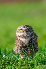 Curiosity (agnish.dey) Tags: owl burrowingowl wildlife green grassland bokeh eyes naturallight nature naturephotograph nikon naturethroughthelens d500 animalplanet coth capecoral portrait florida
