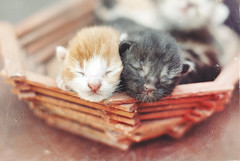 Cute newborn Kittens (Kseniya Polonskaya) Tags: kitten cat cute baby family animal little kitty sleeping box basket young pet funny sunshine adorable sweet small mammal feline beautiful domestic white background pretty fur lying breed lovable tiny cub purebred newborn nature pedigreed love blind pussycat fluffy one asleep neonate