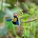 Carpenter Bee (Xylocopa calens)