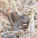 DSC_9368.jpg Fox Sparrow, UCSC Arboretum