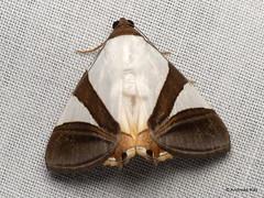 Moth with false eyes, Eulepidotis dominicata or electa? Erebidae (Ecuador Megadiverso) Tags: andreaskay ecuador erebidae eulepidotisdominicata eulepidotiselecta falseeyes moth noctuidae wildsumaco