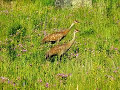 P1040004.jpg (Upstate Dave) Tags: majorplaces sloughcreek 2010 crane riversandstreams birds yellowstone yellowstonenationalpark places sandhillcrane