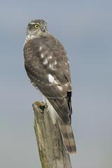 Sparviere (Polpi68) Tags: nature wildlife wild birds birdwatching sparviere