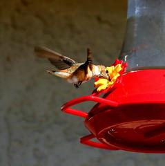 Winter Hummer (austexican718) Tags: texas native wildlife centraltexas hillcountry backyard bird nature hummingbird birdfeeder winter canon eos70d ef70300mm456isusm sanantonio telephoto fastexposure animal avian