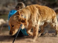 00100lPORTRAIT_00100_BURST20181228151325896_COVER (KevinXHan) Tags: zions national park dog golden retriever cute aww parus trail hike walk nature outdoors google pixel3 photoblog photodiary