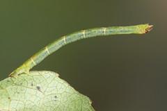Jodis lactearia (NakaRB) Tags: 2017 larva insecta lepidoptera geometridae jodislactearia