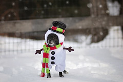 Cheeky Snowman 4/52 (Boered) Tags: chico dog snow snowman costume winter scarf hat cheeky 52weeksfordogs