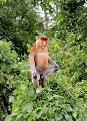 The king  #bekantan #nasalislarvatus #endemicborneo #wildborneo #borneowildlife #kera #kerahidungpanjang #monyet #monyetbekantan #blondemonkey #probosicsmonkey #kalimantan #borneo   #photography #photographer #wildlifephotography #wildlifephotographer #wi (rivaldiompall) Tags: blondemonkey wildanimal natgeo indonesia wildborneo kalimantan bekantan monyet endemicborneo borneo wildlifephotography wildness nasalislarvatus monyetbekantan banjarbungas banjarmasin borneowildlife photography kerahidungpanjang wildlife animalplanet banjarmasinbungas probosicsmonkey kera wildlifephotographer photographer nationalgeographic