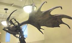 Irish Elk (edenpictures) Tags: fossil bones skeleton skull prehistoric extinct mammal newyorkcity nyc manhattan americanmuseumofnaturalhistory amnh naturalhistorymuseum museum upperwestside