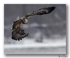Bald Eagle at Clarksville, Missouri - No. 6 (Nikon66) Tags: baldeagle eagle clarksville missouri nikon d850 600mmnikkor