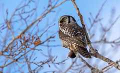 Northern hawk-owl (Chouette épervière) (miro_mtl) Tags: attente chouetteépervière d7200 estrie michelrochon nikon nikond7200 northernhawkowl rockforest sherbrooke surniaulula tamron tamronsp150600mm amerique arbres bird birdofprey bluesky canada chasse chasseur chouette ciel clouds cloudysky feathers flight hiver hunter nature oiseau oiseaudeproie owl patience proie quebec raptor sky waiting wildlife winter rodent prey easterntownships