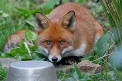 The Christmas Fox......... (law_keven) Tags: animal grass photography wildlifephotography wildlife mammals animals england london catford redfox urbanredfox cub foxes fox foxcub