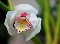 IMG_0121 (www.ilkkajukarainen.fi) Tags: suomi finland finlande helsinki garen winter tavi puutarha eotic eotique erotiikka kukka flower orchidea orchidee visit travel travelling sensuel