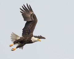 American Bald Eagle (Mark Schocken) Tags: haliaeetusleucocephalus americanbaldeagle eagle markschocken raptor