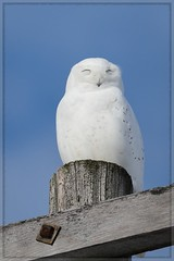 Soaking Up the Sun (Note-ables by Lynn) Tags: bird owls snowyowl animals 100400mm canon handganimalsonly