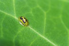 Green Tortoise Beetle  -2 (Gomen S) Tags: animal wildlife nature insect macro srilanka 2018 morning tropical nikon 105mmmicro d500 beetle